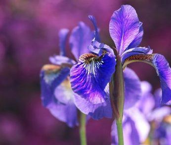 Iris viola in fiore