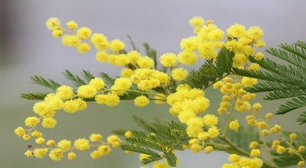 mimosa per la festa della donna